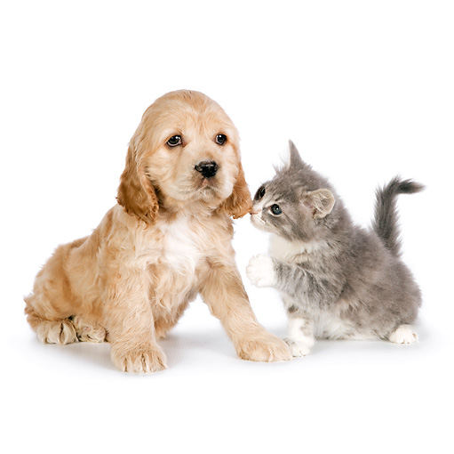 DOK 01 RK0699 01 © Kimball Stock Cocker Spaniel Puppy And Tabby Kitten Sitting On White Seamless