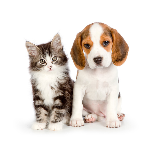 DOK 01 RK0713 01 © Kimball Stock Tabby Kitten And Beagle Puppy Sitting On White Seamless