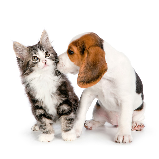DOK 01 RK0714 01 © Kimball Stock Tabby Kitten And Beagle Puppy Sitting On White Seamless