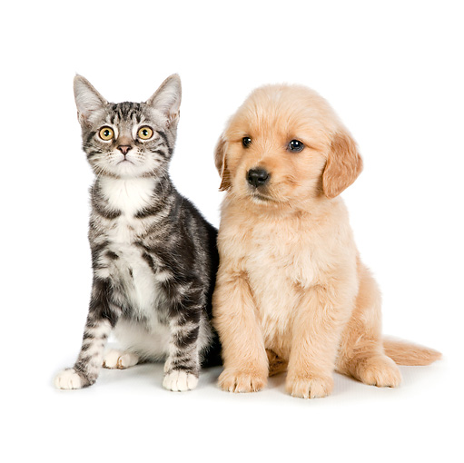 DOK 01 RK0715 01 © Kimball Stock Tabby Kitten And Golden Retriever Puppy Sitting On White Seamless
