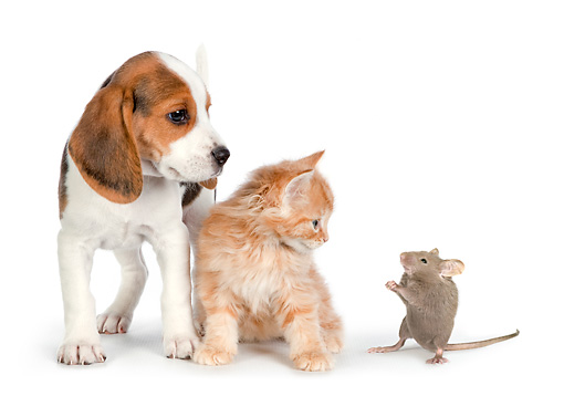 DOK 01 RK0718 01 © Kimball Stock Beagle Puppy, Tabby Kitten And Mouse On White Seamless