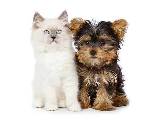 DOK 01 RK0730 01 © Kimball Stock White Kitten And Yorkshire Terrier Puppy Sitting On White Seamless