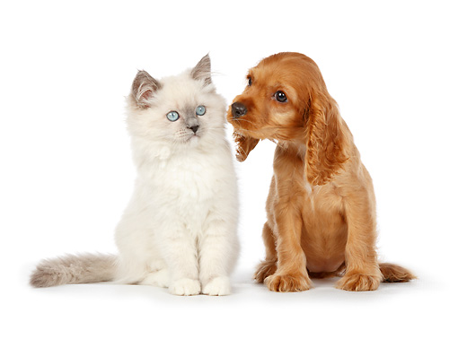 DOK 01 RK0733 01 © Kimball Stock White Kitten And Cocker Spaniel Puppy Sitting On White Seamless
