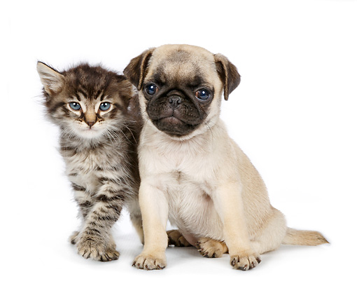 DOK 01 RK0770 01 © Kimball Stock Tabby Kitten And Pug Puppy On White Seamless