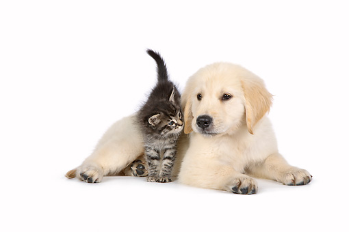 DOK 01 RK0776 01 © Kimball Stock Tabby Kitten Climbing Over Golden Retriever Puppy On White Seamless