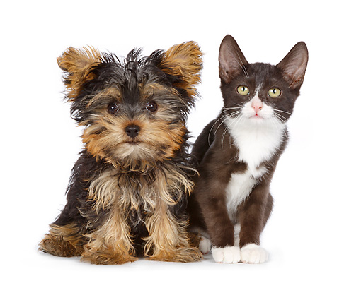 DOK 01 RK0779 01 © Kimball Stock Yorkshire Terrier Puppy And Black And White Kitten Sitting On White Seamless