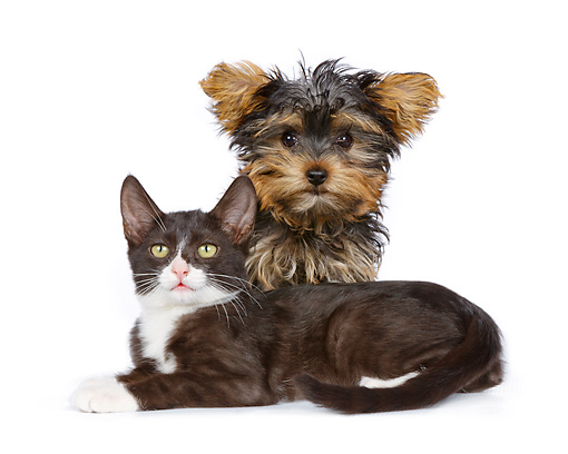DOK 01 RK0780 01 © Kimball Stock Yorkshire Terrier Puppy And Black And White Kitten On White Seamless