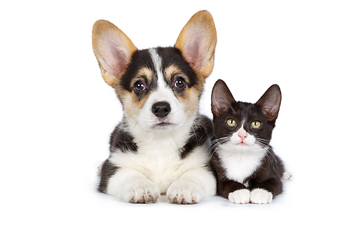 DOK 01 RK0781 01 © Kimball Stock Welsh Corgi Puppy And Black And White Kitten Laying On White Seamless