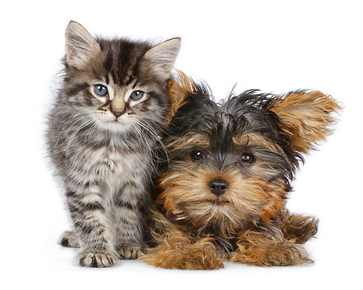 DOK 01 RK0800 01 © Kimball Stock Tabby Kitten And Yorkshire Terrier Puppy On White Seamless