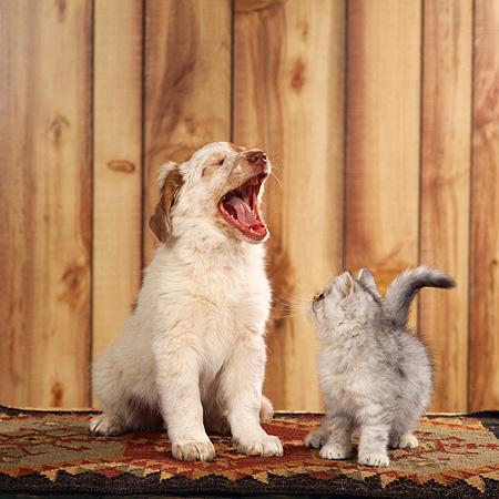 DOK 01 RS0033 01 © Kimball Stock Mixed Breed Puppy And Scottish Fold Kitten On Rug