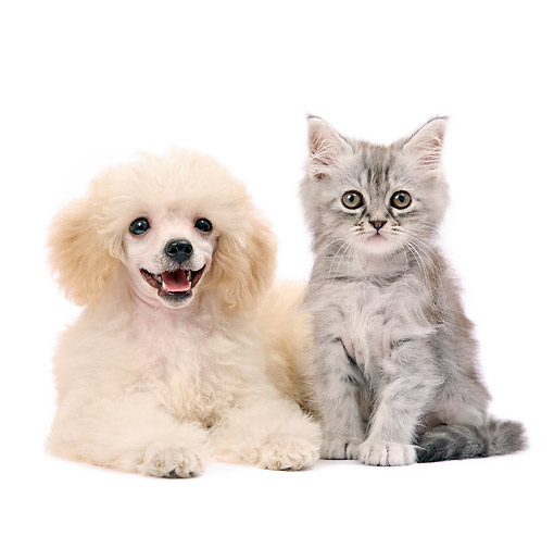 DOK 01 XA0016 01 © Kimball Stock Poodle Puppy And Kitten Sitting In Studio