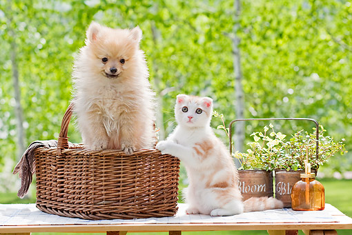 DOK 01 YT0005 01 © Kimball Stock Pomeranian Puppy Sitting In Basket By Scottish Fold Kitten