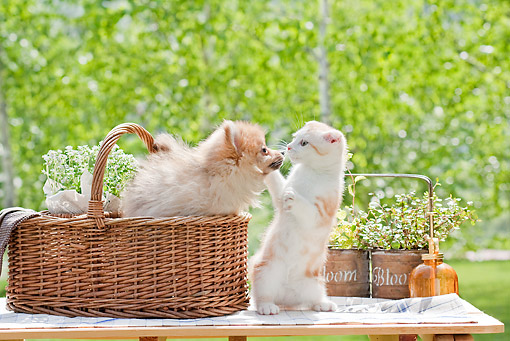 DOK 01 YT0006 01 © Kimball Stock Pomeranian Puppy In Basket Leaning Toward Scottish Fold Kitten