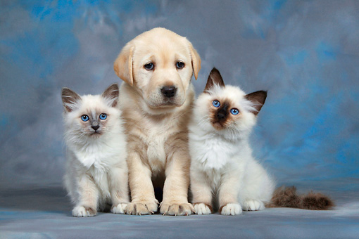DOK 01 KH0001 01 © Kimball Stock Yellow Labrador Retriever Puppy And Two Birman Kittens Sitting Studio