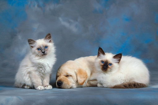 DOK 01 KH0002 01 © Kimball Stock Yellow Labrador Retriever Puppy Sleeping And Two Birman Kittens Studio