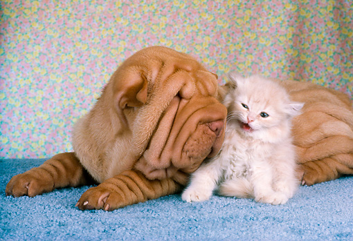 DOK 01 RC0003 01 © Kimball Stock Shar-Pei Puppy And Tabby Kitten Laying On Blue Rug