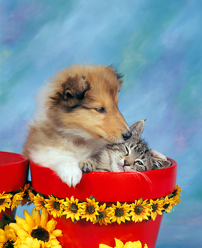 DOK 01 RK0019 01 © Kimball Stock Collie Puppy And Tabby Kitten In Daisy Flower Pot Mottled Background