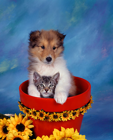 DOK 01 RK0019 05 © Kimball Stock Collie Puppy And Tabby Kitten In Daisy Flower Pot Mottled Background