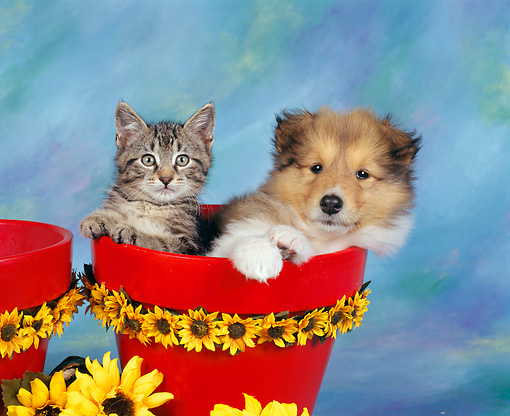 DOK 01 RK0020 03 © Kimball Stock Collie And Kitten Sitting In Flower Pot With Daisies Around Blue Green Background