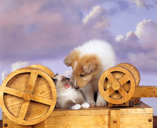 DOK 01 RK0024 01 © Kimball Stock Collie And Himalayan On Top  Of Wooden Box Purple Clouds