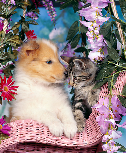 DOK 01 RK0027 05 © Kimball Stock Collie And Tabby Kitten Sitting In Pink Wicker Chair By Flowers