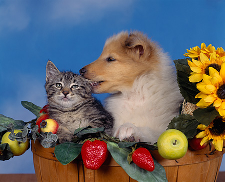 DOK 01 RK0029 02 © Kimball Stock Collie And Kitten Sitting In Basket With Daises And Fruit Blue Sky Background
