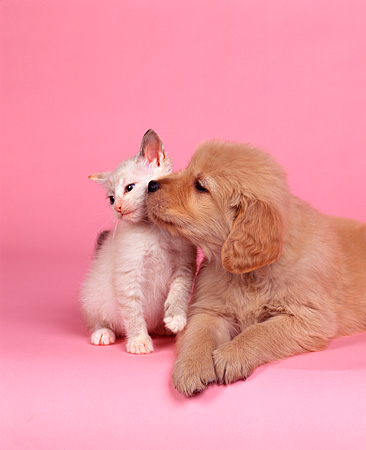 DOK 01 RK0049 20 © Kimball Stock Golden Retriever And White Kitten Sitting On Pink Seamless