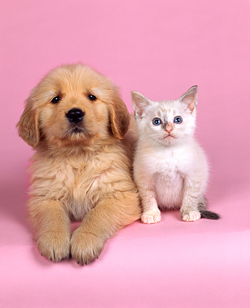 DOK 01 RK0049 24 © Kimball Stock Golden Retriever And White Kitten Sitting On Pink Seamless