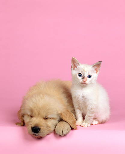 DOK 01 RK0049 27 © Kimball Stock Golden Retriever And White Kitten Sitting On Pink Seamless