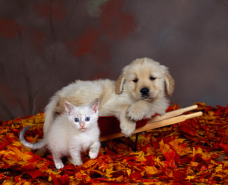 DOK 01 RK0058 12 © Kimball Stock Golden Retriever Puppy Laying On Wheelbarrow With White Kitten Fall Leaves