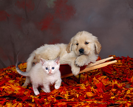 DOK 01 RK0058 13 © Kimball Stock Golden Retriever Puppy Laying On Wheelbarrow With White Kitten Fall Leaves