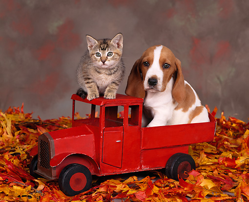 DOK 01 RK0061 01 © Kimball Stock Basset Hound And Kitten Sitting In Little Red Truck With Fall Leaves