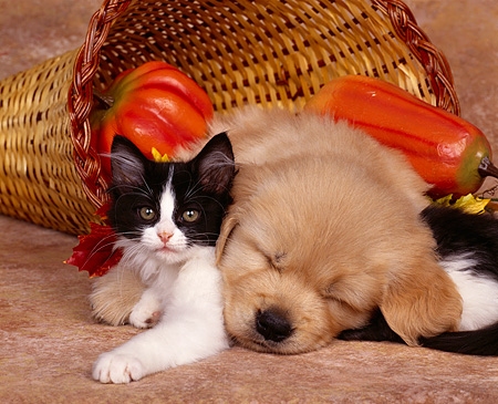 DOK 01 RK0067 03 © Kimball Stock Golden Retriever Puppy And Black And White Kitten Laying Inside Basket Closely Fall Setting