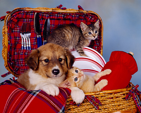 DOK 01 RK0079 01 © Kimball Stock Mixed Breed Puppy And Kittens Sitting In Picnic Basket Mottled Background