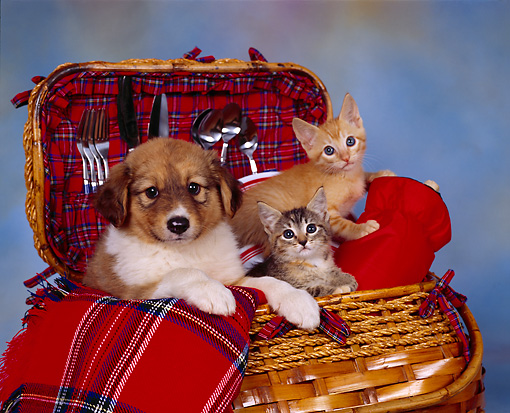 DOK 01 RK0079 09 © Kimball Stock Mixed Breed Puppy And Kittens Sitting In Picnic Basket Mottled Background