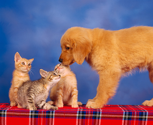 DOK 01 RK0095 02 © Kimball Stock Golden Retriever Puppy With Three Kittens Studio