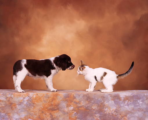 DOK 01 RK0105 01 © Kimball Stock Profile Of Spaniel Mix Puppy And Kitten Face To Face Brown Mottled Background