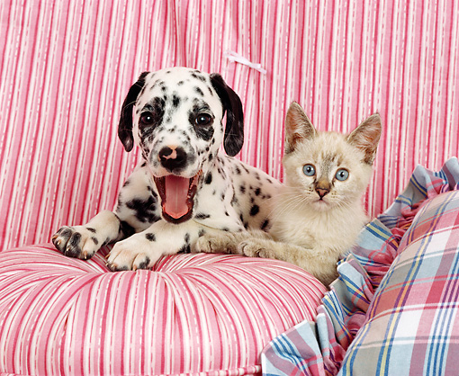 DOK 01 RK0107 05 © Kimball Stock Dalmatian Puppy And Kitten On Striped Couch And Pillow