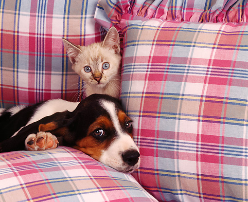 DOK 01 RK0108 02 © Kimball Stock Basset Hound Puppy And Kitten On Plaid Couch