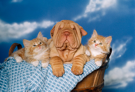 DOK 01 RK0131 03 © Kimball Stock Shar Pei Puppy And Two Kittens Sitting In Basket With Blue Blanket