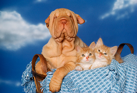 DOK 01 RK0131 05 © Kimball Stock Shar Pei Puppy And Two Kittens Sitting In Basket With Blue Blanket