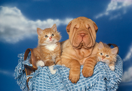 DOK 01 RK0131 10 © Kimball Stock Shar Pei Puppy And Two Kittens Sitting In Basket With Blue Blanket