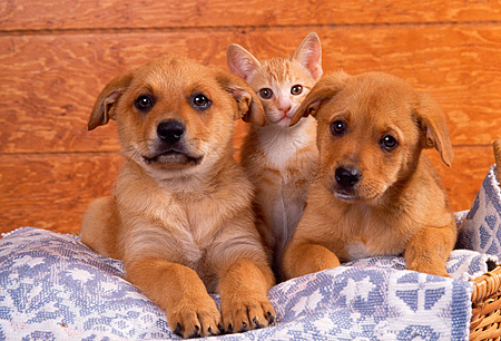 DOK 01 RK0136 07 © Kimball Stock Mixed Breed Puppies And Kitten Sitting In Blue Rug In Basket