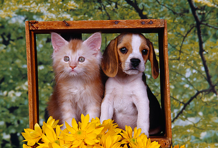 DOK 01 RK0156 09 © Kimball Stock Beagle Puppy And Orange And White Kitten In Box By Yellow Flowers