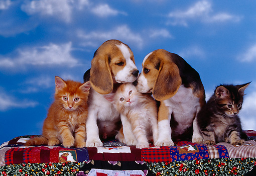DOK 01 RK0159 11 © Kimball Stock Two Beagle Puppies And Three Tabby Kittens Sitting On Quilt Blue Sky Studio