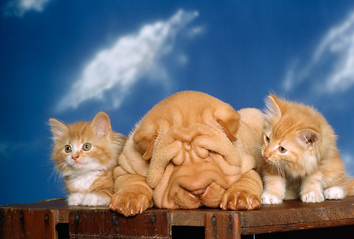 DOK 01 RK0167 07 © Kimball Stock Shar-pei Puppy Sleeping Between Two Kittens On Wooden Crate Studio
