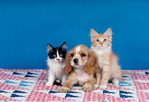 DOK 01 RK0185 08 © Kimball Stock Two Kittens Sitting With Cocker Spaniel Puppy On Quilt Studio