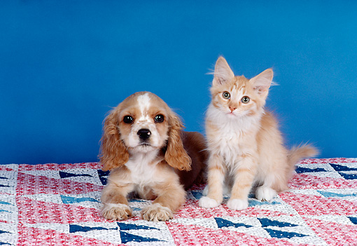 DOK 01 RK0187 18 © Kimball Stock Cocker Spaniel Puppy And Red Tabby Kitten Sitting On Quilt