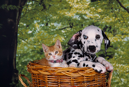 DOK 01 RK0206 02 © Kimball Stock Dalmatian Puppy And Kitten Sitting In Basket Trees Background