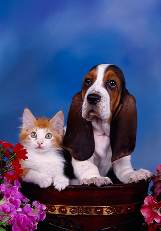 DOK 01 RK0217 09 © Kimball Stock Basset Hound Puppy And Orange And White Kitten In Pot With Flowers